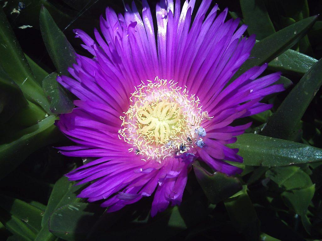 Fleur de la griffe de sorcières